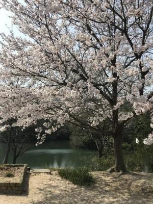 城東台 桜